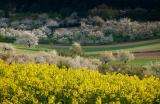 Obst- und Rapsblüte im Maintal