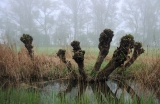 Kopfweiden im Riedholz bei Grettstadtt