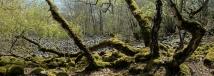 Karpatenbirken - Rhön