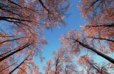 Raureif-Buchenkronen bei Sonnenaufgang , Biosphärenreservat Rhön